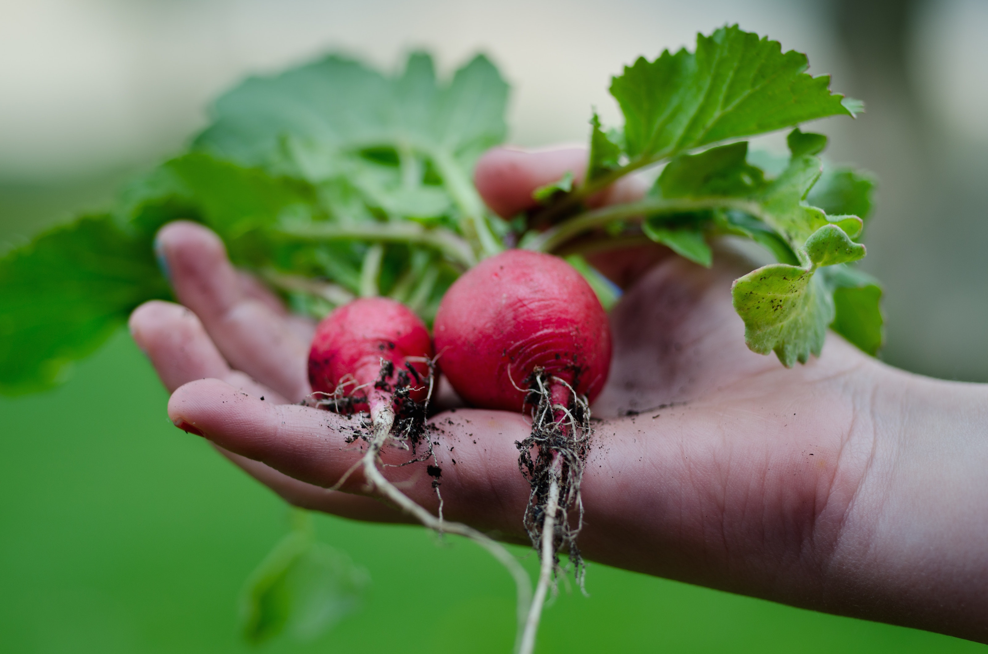 radishes clean fodmap